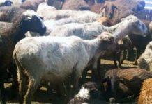 Незаконная деятельность убойщиков скота Шымкента будет остановленна