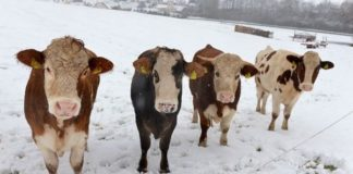 В ЮКО полицейские по «горячим следам» раскрыли более десятка краж скота