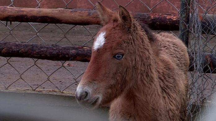 Лошадь Пржевальского в шымкентском зоопарке