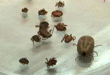В этом году увеличилось количество клещей носителей опасного вируса ККГЛ