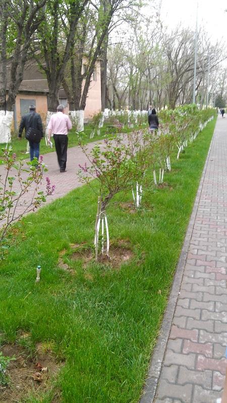 Пополнят зеленый парк города и саженцы деревьев айланда, можжевельника и катальпы