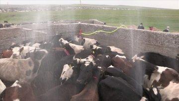 В ЮКО началась обработка домашнего скота против клещей