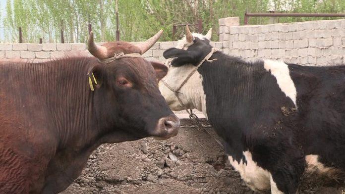 Коровы, больные бруцеллезом