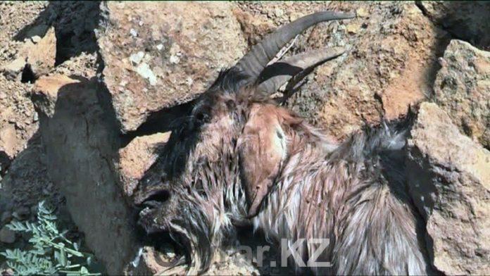 У жителей поселка Ачисай в ЮКО массово гибнет скот