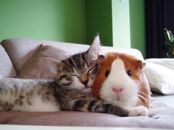 Свин свободно разгуливал по квартире и дружил с кошкой Манюней