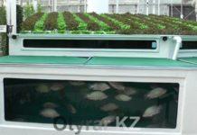 По своей сути аквапоника – это одновременное выращивание рыбы и растений