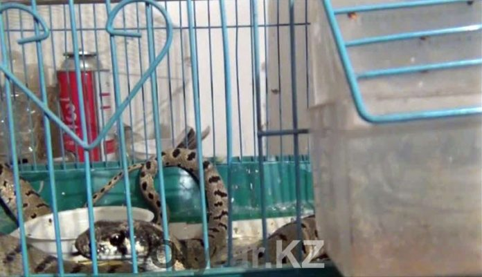 В Шымкенте змея заползла в дом и съела попугая
