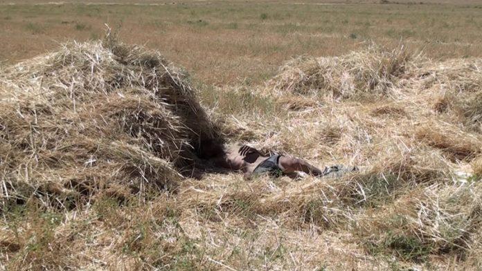 Труп мужчины обнаружен на пшеничном поле
