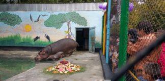 В канун 35-летия шымкентского зоопарка здесь родился бегемотик Глория