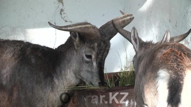 В Шымкенский зоопарк привезли голубых баранов