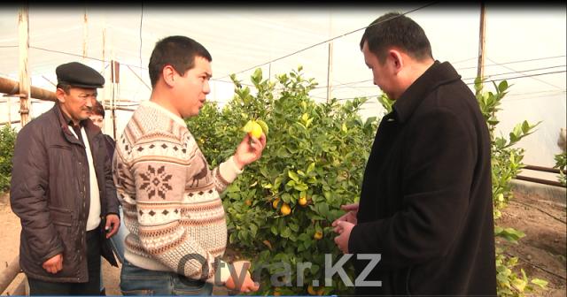 Мастер-класс по выращиванию лимонов в открытом грунте.