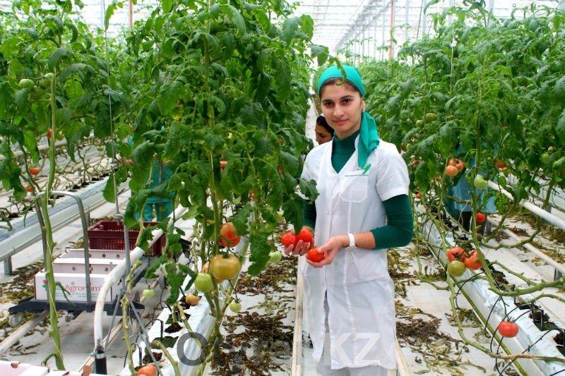 В этом году фермеры планируют собрать до 300 тонн помидор
