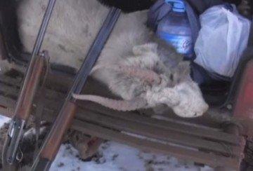 Краснокнижных джейрана и сайгака застрелили браконьеры в ЮКО