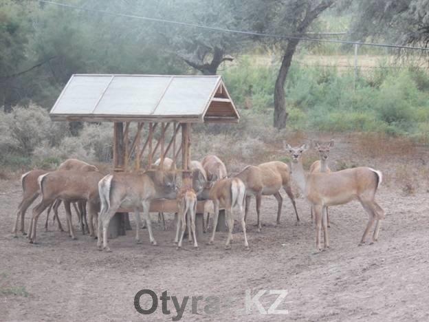Бухарские олени