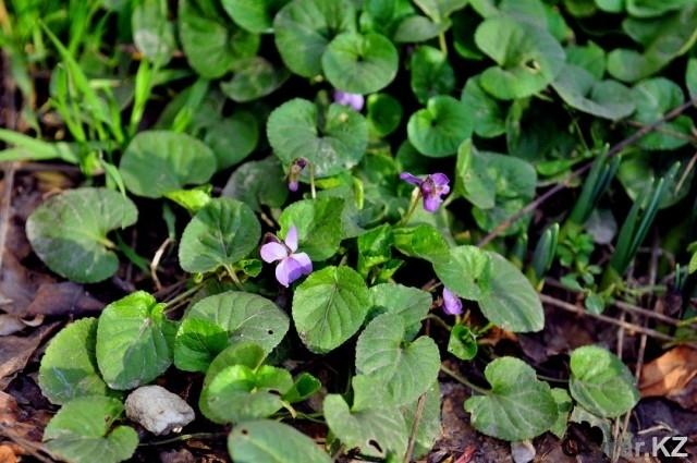 Зима продолжает удивлять: шымкентские газоны распустились первоцветами
