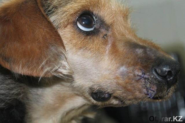 Шымкентские ветеринары успешно провели сложнейшую пластическую операцию собаке