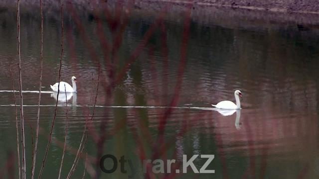 В дендропарке бьют тревогу по поводу теплой шымкентской зимы. Лебеди