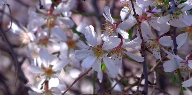 Миндаль цветет в Шымкенте