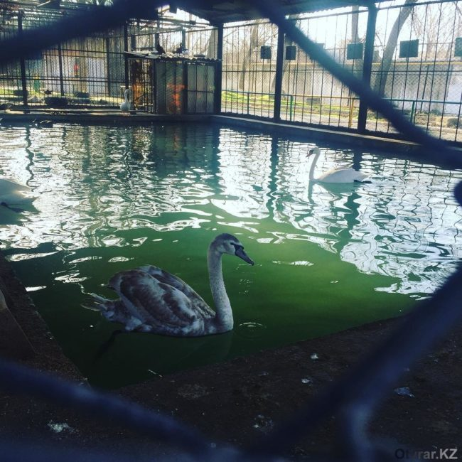 Лебеди в зоопарке