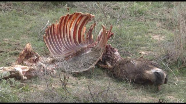 Убитые из-за шкур ослы