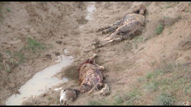 Шкуры и уши стали причиной убийства двух десятков ослов в ЮКО