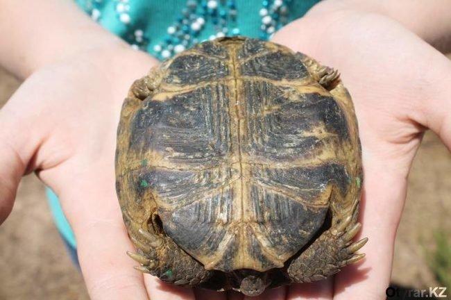 В ЮКО 7000 контрабандных черепах выпустили на природу