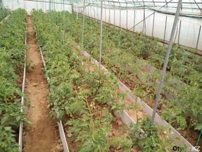 Экологически чистые грядки производят в Шымкенте