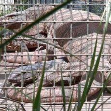 Краснокнижные вараны шымкентского зоопарка переехали в новое жилье