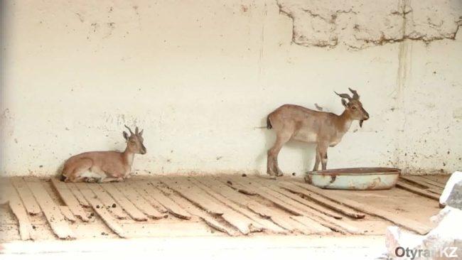 В шымкентском зоопарке поселились российские гости с африканскими корнями
