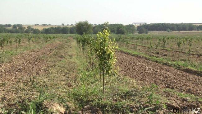 Зеленый пояс в Ордабасинском районе