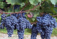 Шардаринские дехкане будут развивать виноградное хозяйство