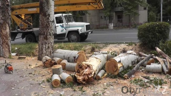 """В Шымкенте недалеко от парка """"Кен баба"""" спилят большие деревья"""