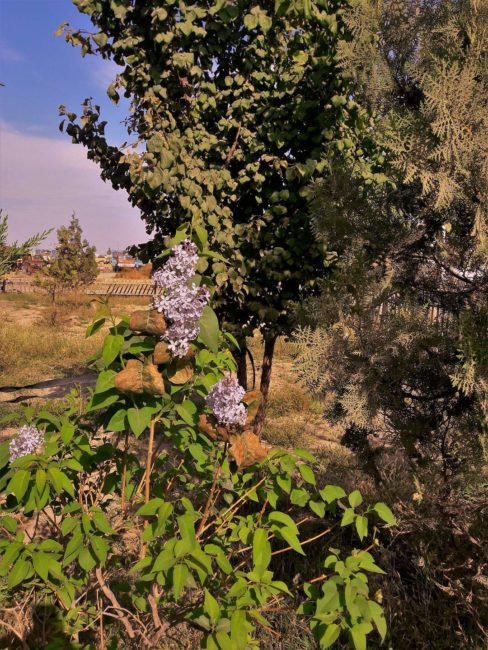 В Туркестане в сентябре зацвела сирень