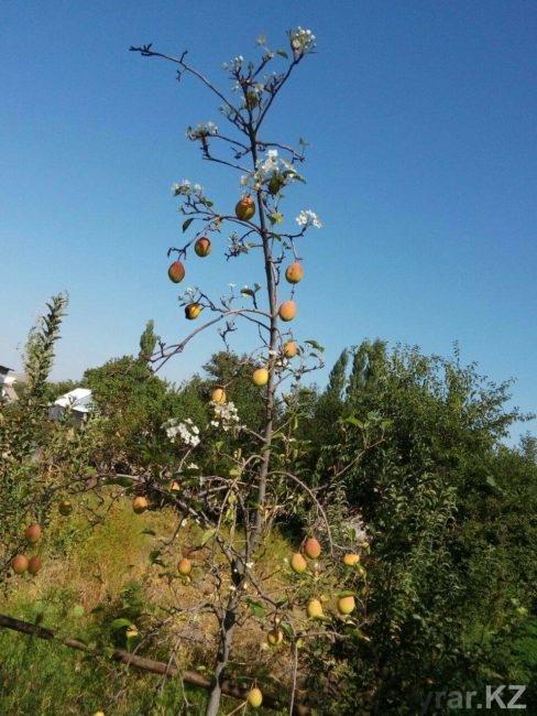 Груша плодоносит и цветет
