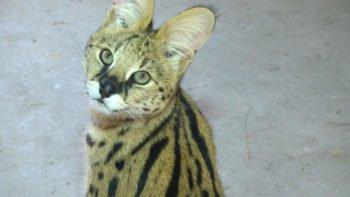 В зоопарке Шымкента новые кошки - краснокнижные сервалы