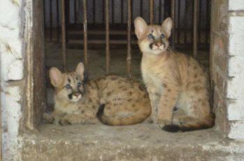 В шымкентском зоопарке новые обитатели - котята американской пумы