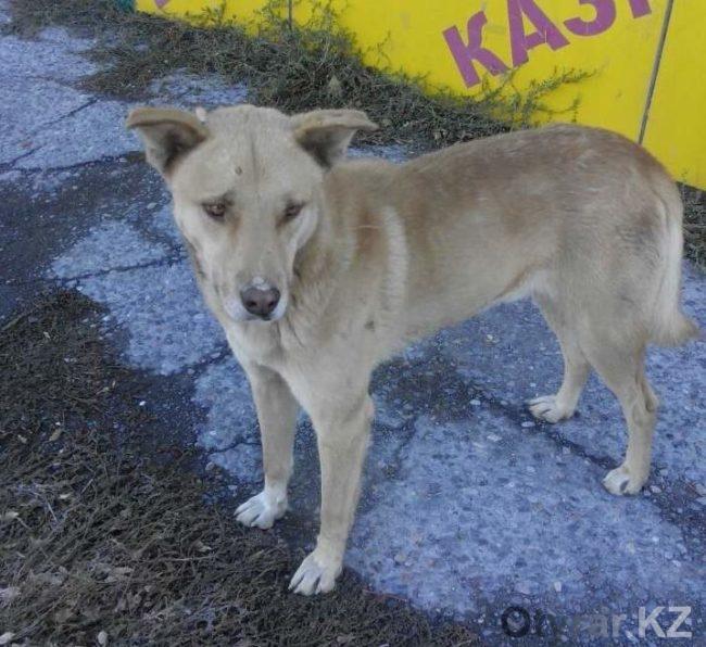 На автобусной остановке Шымкента пес ждет своих хозяев