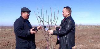 Общественный сад Шымкента в этом году будет плодоносить