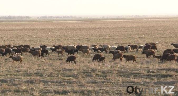 Скотокрады увели отару овец