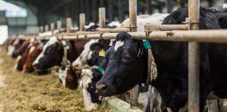 Коровы в хлеву