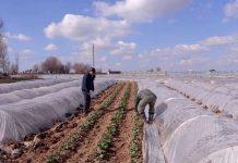 Из-за холодной весны ранние овощи в этом году буду стоить дороже