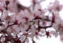 В Шымкенте цветет урюк