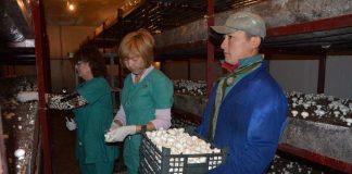 В ЮКО выращивают грибы