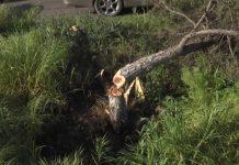 Чиновники назвали причину уничтожения здоровых деревьев в Шымкенте