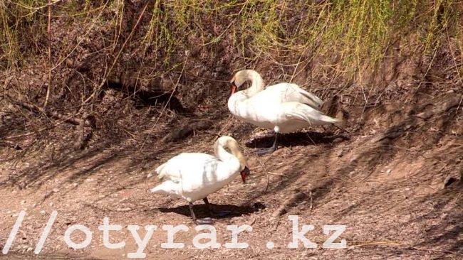 Лебеди в дендропарке