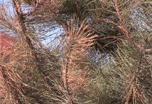 В Шымкенте пытаются спасти деревья