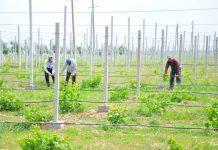 Садовник из ЮКО внедрил технологию выращивания винограда на каменистой почве