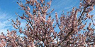 Впервые в Южном Казахстане появятся миндальные сады
