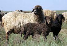 Овцы в ЮКО