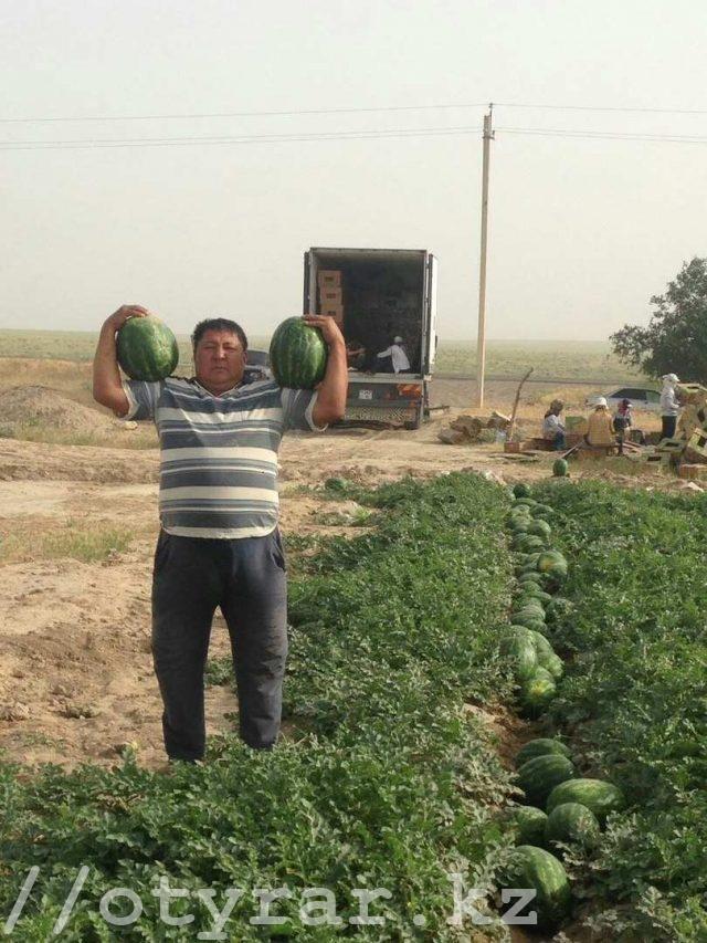 Урожай арбузов. Арбузы